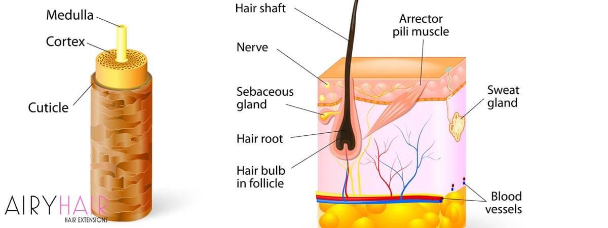 Hair Anatomy Explained
